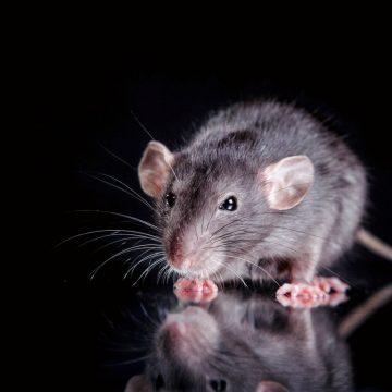RATS AWEIGH