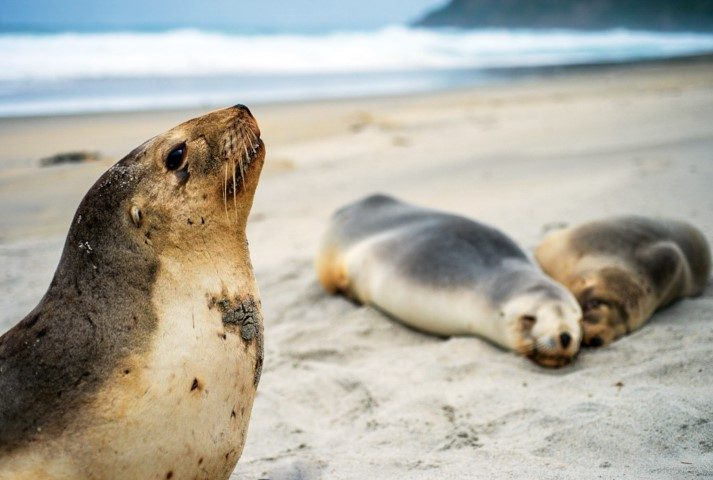LIFE-LINE FOR SEA LIONS